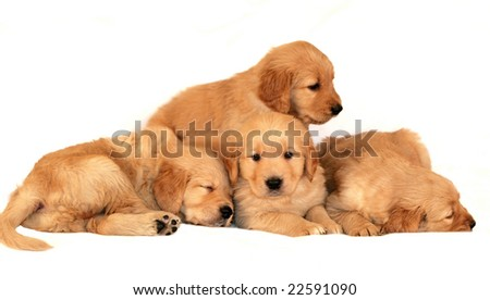 adorable golden retriever puppies snuggling