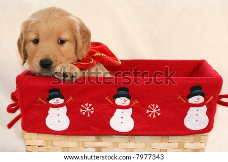 adorable golden retriever puppy in holiday basket