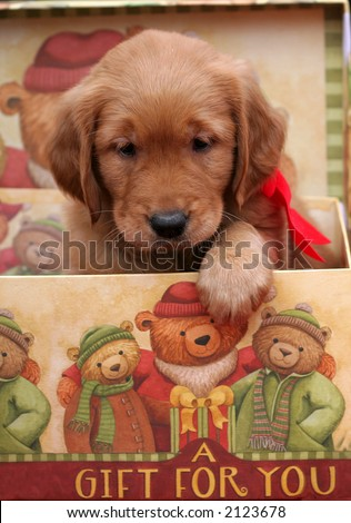 adorable golden retriever puppy in holiday gift box