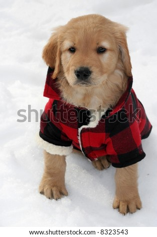adorable golden retriever puppy in plaid coat on snow
