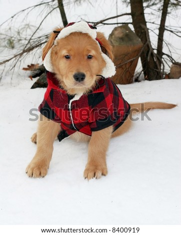 adorable golden retriever puppy in plaid hat and coat