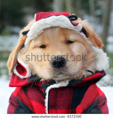 adorable golden retriever puppy in plaid hat and jacket
