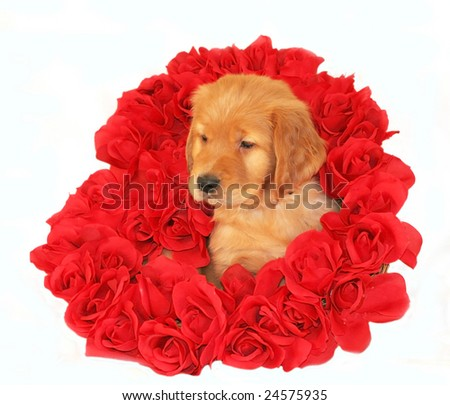 adorable golden retriever puppy inside heart of roses