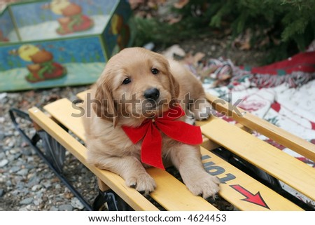 adorable golden retriever puppy on sled