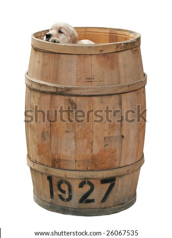 adorable golden retriever puppy peeking over top of tall barrel with clipping path