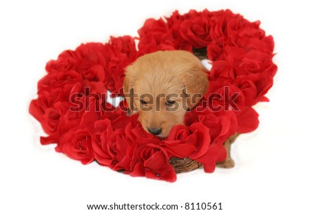 adorable golden retriever puppy sitting inside heart made of roses