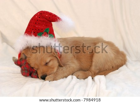 cute golden retriever puppies sleeping. golden retriever puppy