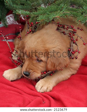 adorable golden retriever puppy under pine tree with wreath - stock photo