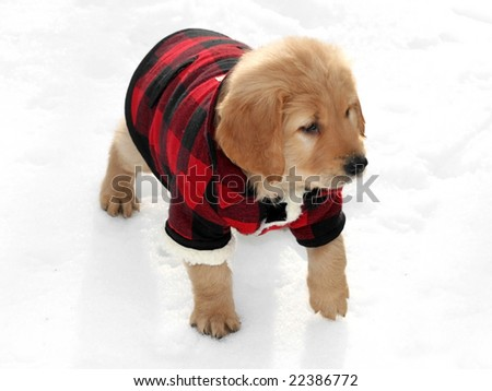 adorable golden retriever puppy wearing plaid coat in snow