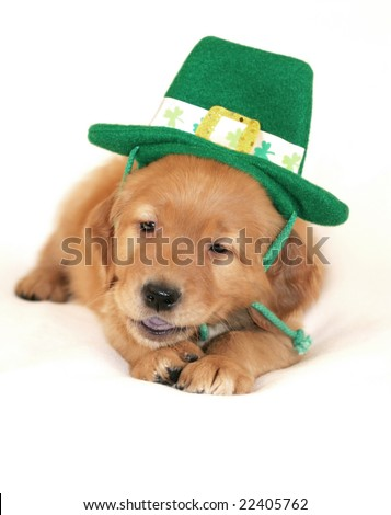 adorable golden retriever puppy wearing saint patricks day hat and chewing on strap