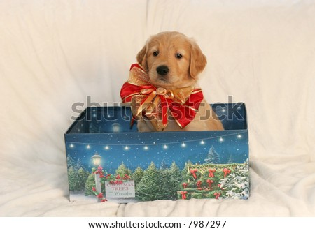 adorable golden retriever puppy with beautiful bow sitting in holiday box