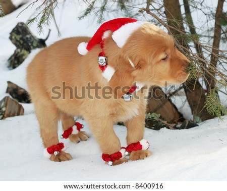 adorable golden retriever puppy with santa hat,collar and anklets in snow smelling tree