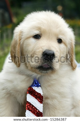 adorable golden retriever puppy with sequin tie