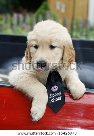 adorable golden retriever puppy with sloppy kisser tie