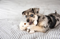 Adorable Gray and Black Terrier Mix Puppy Playing with Small Teddy Bear
