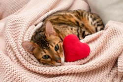 Adorable green-eyed bengal cat lying on pink blanket with soft toy red heart. Valentine day relax, love, pets concept. Close-up. Valentine greeting card.