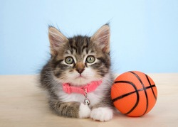 Adorable grey and white polydactyl kitten wearing a pink collar laying on a wood floor next to tiny sized basketball, on blue background. Animal antics fun sports theme.