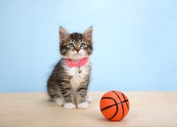 Adorable grey and white polydactyl kitten wearing a pink collar sitting on a wood floor next to tiny sized basketball, on blue background. Animal antics fun sports theme.