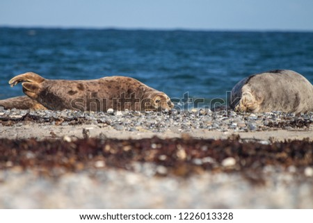 adorable grey seal on the beach of Helgoland, Germany #1226013328