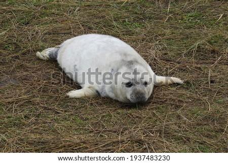 Adorable Grey Seal pup at Donna Nook Foto d'archivio ©