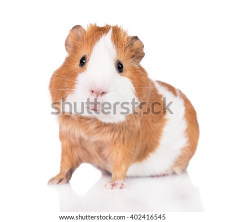 Adorable guinea pig  isolated on white background Сток-фото ©