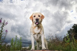 Adorable healthy active adult yellow Labrador Retriever dog standing with forepaws on wooden log on green flower forest glade against cloudy stormy sky
