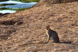 Adorable homeless cat on the volcanic shore of the Atlantic Ocean in the area of Essaouira in Morocco in the low tide time.