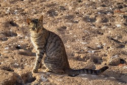 Adorable homeless cat on the volcanic shore of the Atlantic Ocean in the area of Essaouira in Morocco