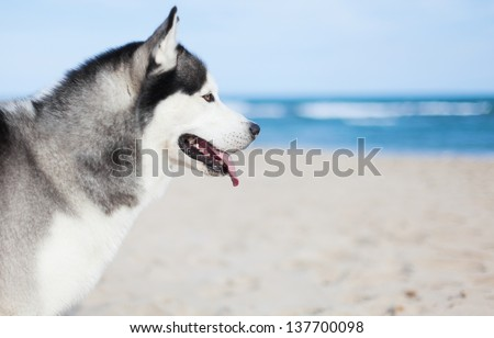 adorable husky resting at sea...