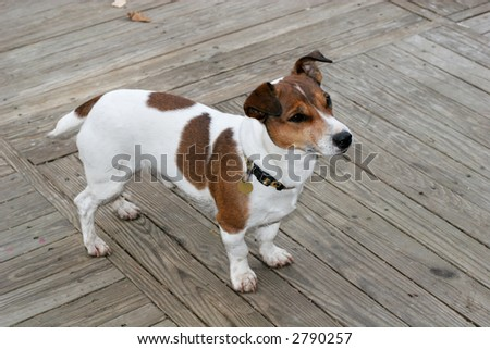 adorable jack russell terrier