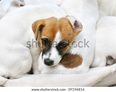 adorable jack russell terrier puppy laying on top of other puppies