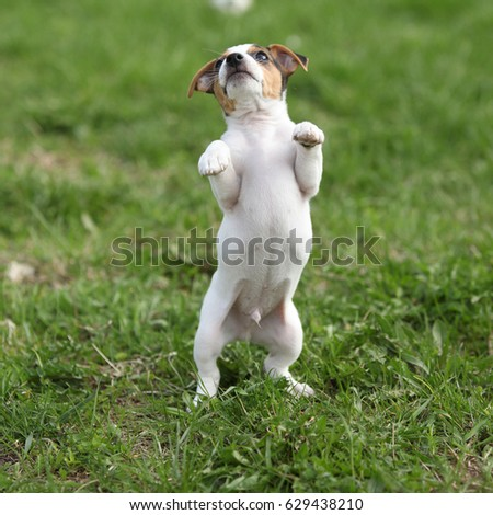 Adorable jack russell terrier puppy on the grass #629438210