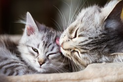 adorable kitten licked and cuddled by her mom, silver color