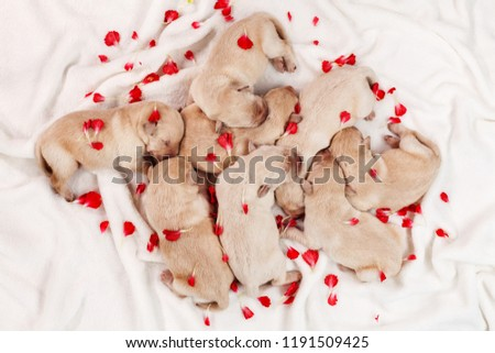 Stock Photo Adorable labrador puppy dogs sleeping in a heap, among flower petals - top view