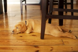 Adorable Labrador Puppy Lying in a Funny Position under a Table