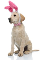 adorable labrador retriever dressed as easter bunny looks to side and sits on white background