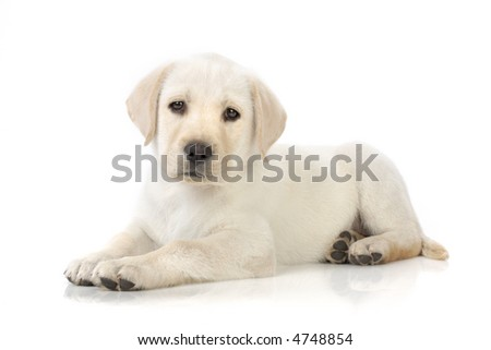 Adorable Labrador retriever puppy against white background