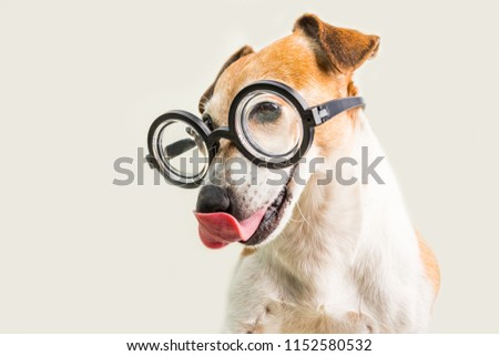 0a21b29f907 Adorable licking dog Jack Russell terrier in glasses. Grey background. fool  around. back