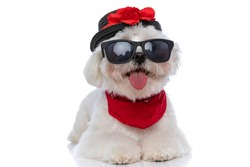adorable little bichon dog laying down, sticking out tongue and wearing a hat, sunglasses and bandana