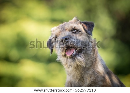 Adorable Little Cute Border Terrier Sitting And Smiling #562599118