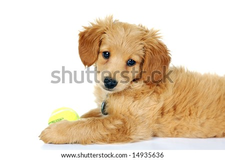 goldendoodle puppy pictures. little Golden Doodle Puppy