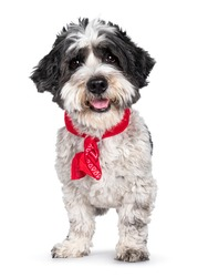 Adorable little mixed breed Boomer dog, standing facing front wearing red scarf around neck. Looking straight to camera with friendly brown eyes. Isolated on white background. Mouth open tongue out.