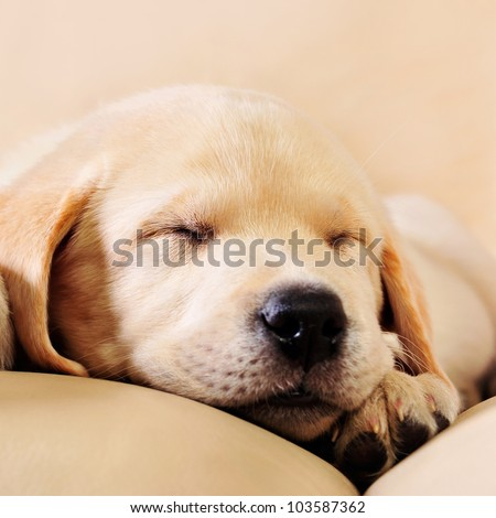 Adorable little puppy lying on sofa
