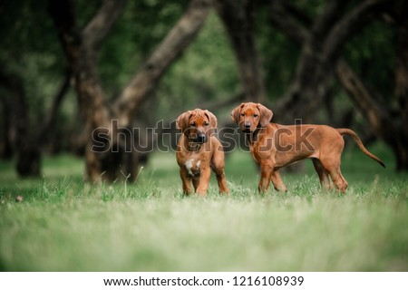 Adorable little Rhodesian Ridgeback puppies playing together in garden #1216108939