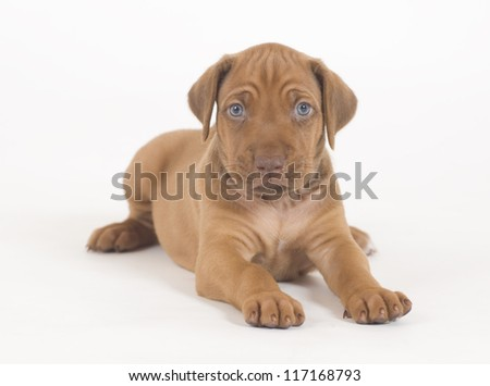 Adorable little Rhodesian Ridgeback puppy isolated on white background. The little hound dog is lying down and looking straight into the camera.