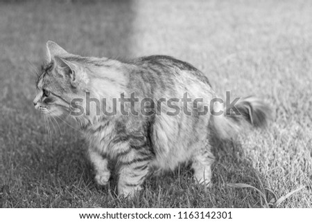 Adorable long haired cat of siberian breed in livestock. Hypoallergenic domestic kitten outdoor on the grass green. Female gender #1163142301