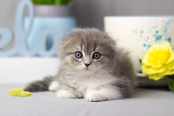 adorable longhaired Scottish fold kitten close-up on gray background