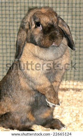 adorable lop earred rabbit standing with paws crossed