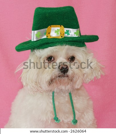 adorable maltese dog with St. Patrick hat