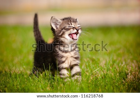adorable meowing tabby kitten outdoors #116218768